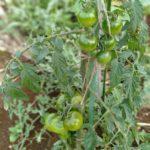 家庭菜園を始めて30種類以上の野菜を育てて気付いたこと