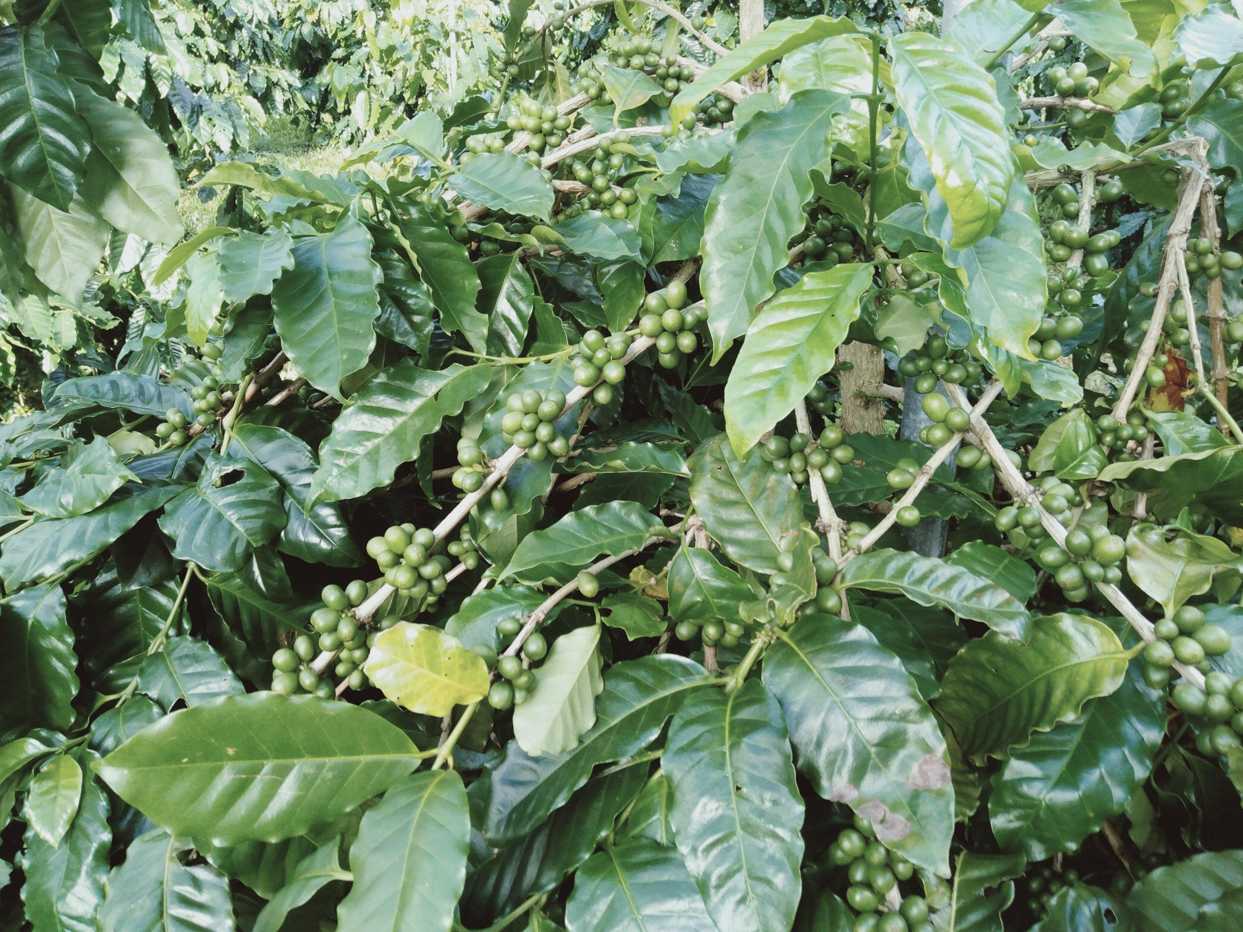 okinawa14-coffeefarm