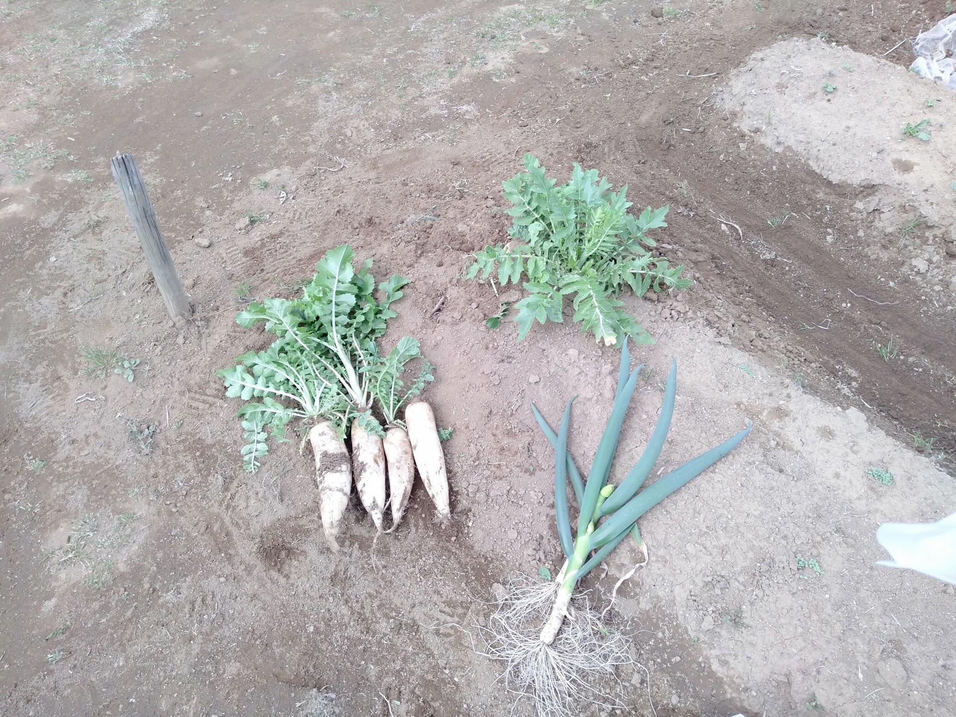 収穫したダイコンと長ネギ