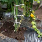 トマトの生育に学ぶ自己成長♪